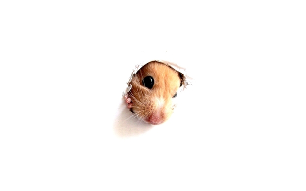 Beautiful Hamster Wallpaper