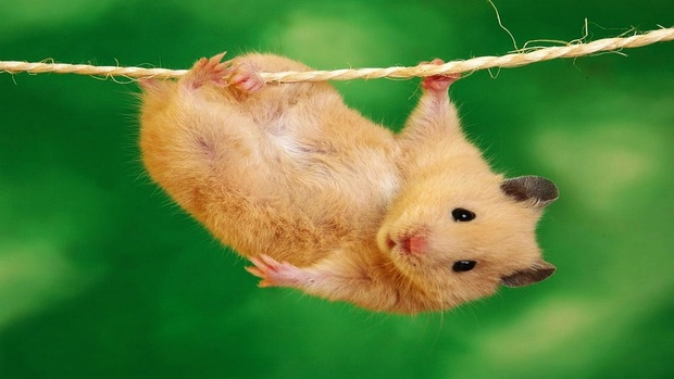 Hamster Desktop Background