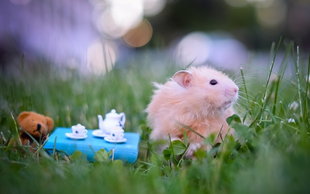 Hamster High Definition Wallpaper