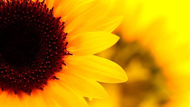 Sunflower HD