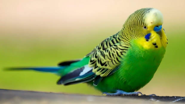 Parrot High Quality Wallpaper