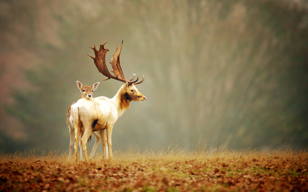 Beautiful Deer Wallpaper