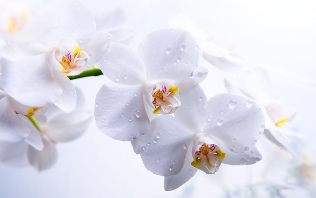 Beautiful Orchids Wallpaper