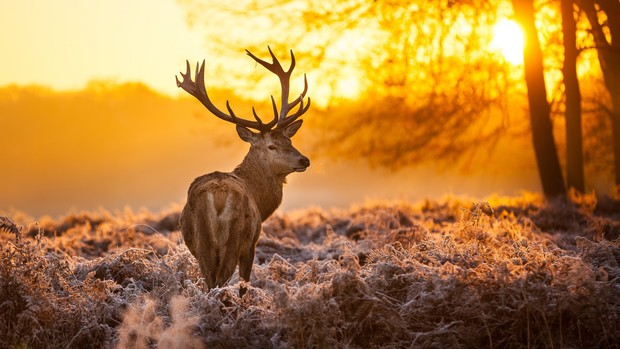 Deer Desktop Background