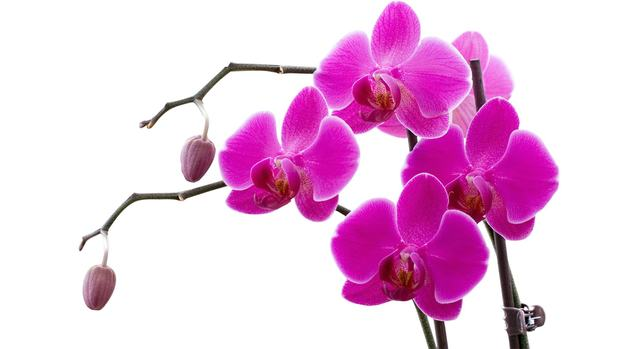Free Orchids Wallpaper