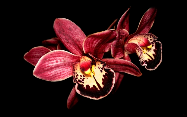 Latest Orchids Wallpaper