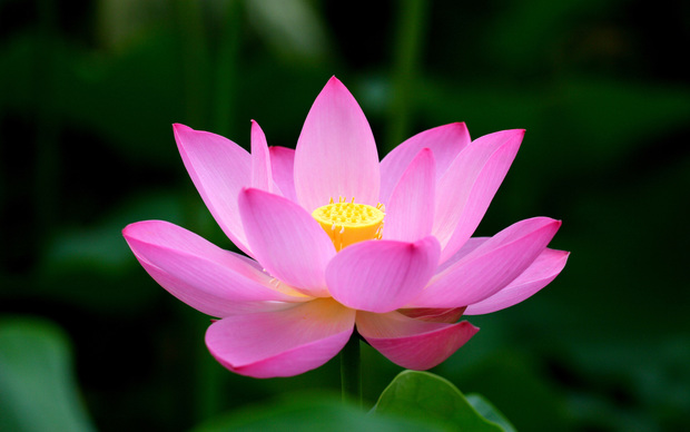 Lotus High Definition Wallpaper