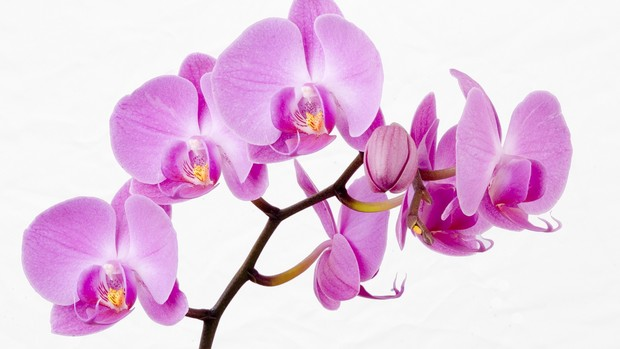 Orchids Desktop Background