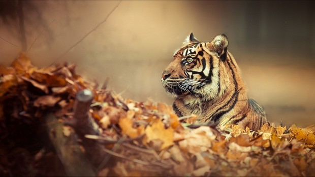Tiger Backgrounds