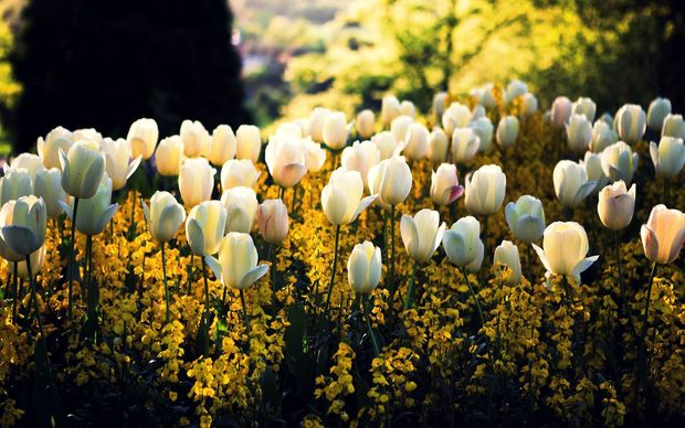 Tulips Desktop Backgrounds
