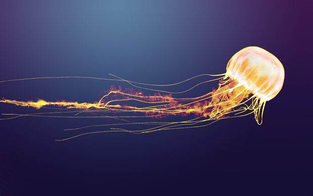 Jellyfish Picture