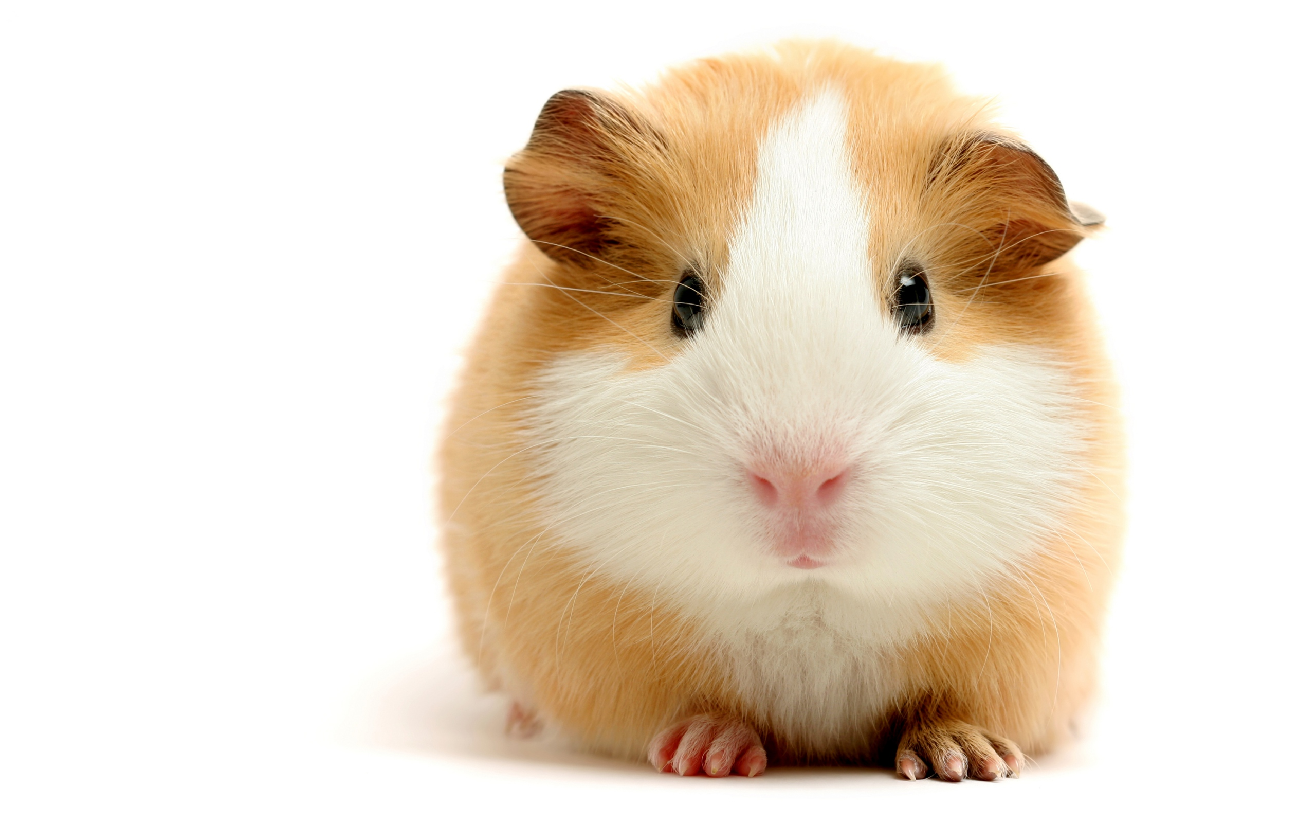 hamsters free p