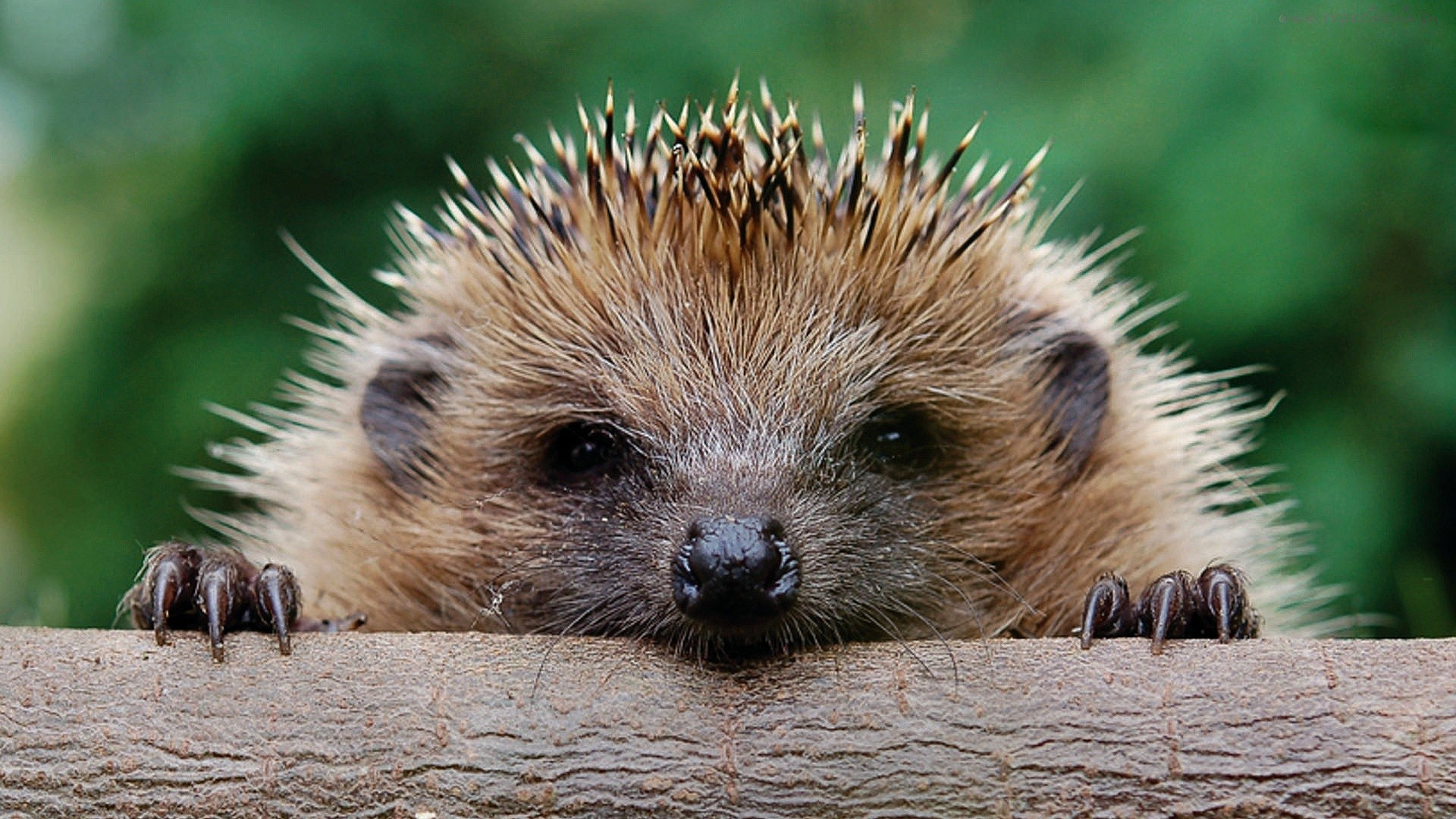 hedgehog wallpapers best wallpapers