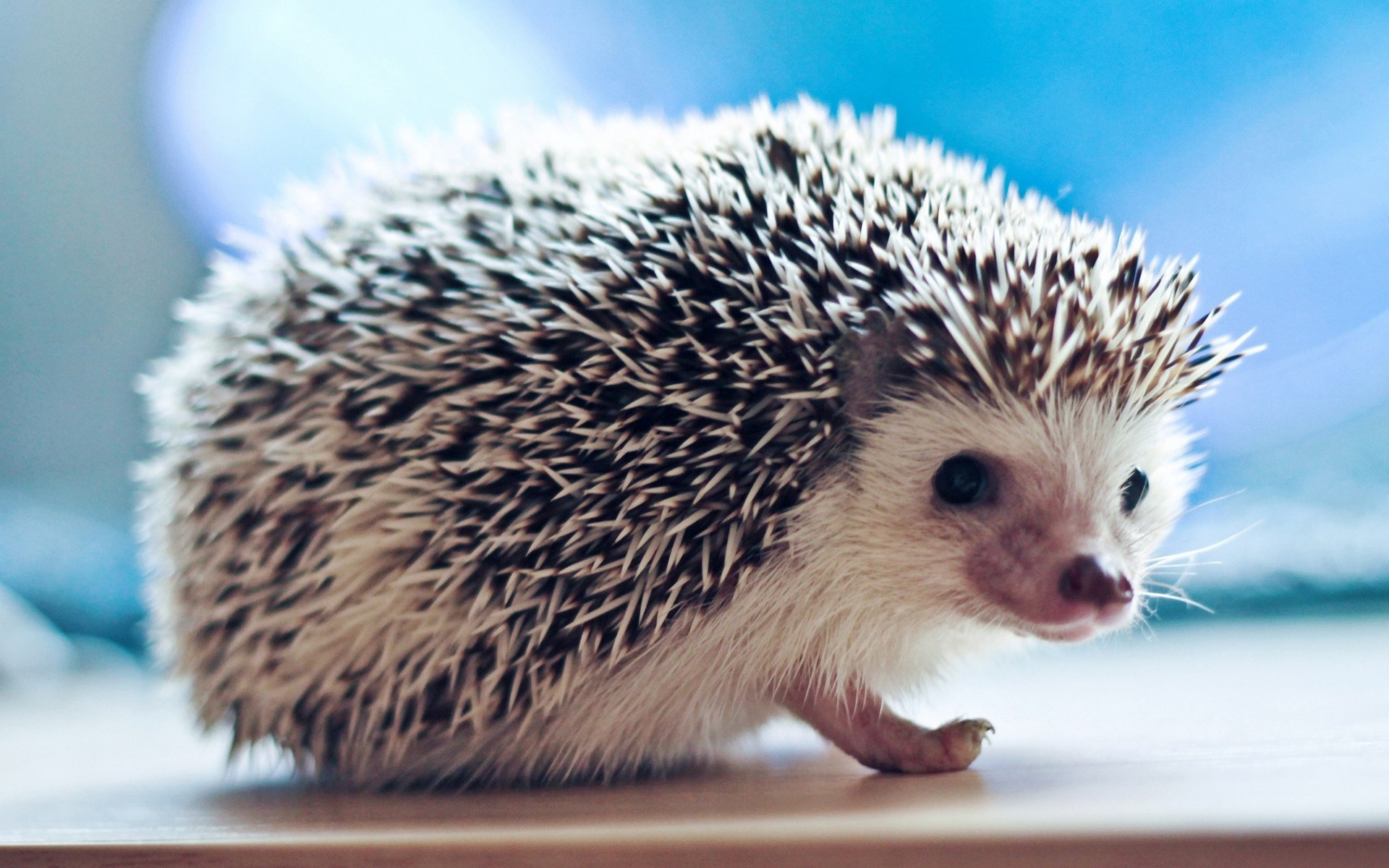 hedgehog wallpaper