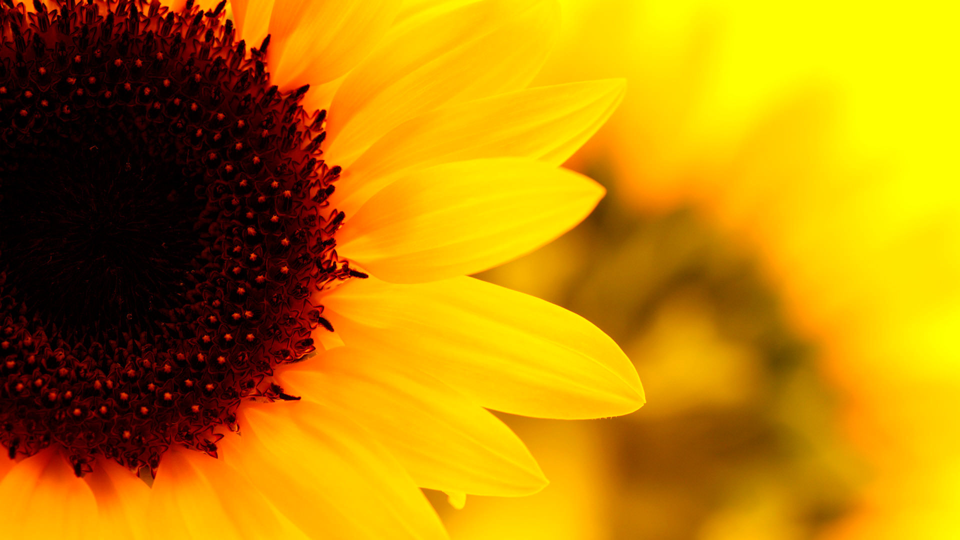 Sunflower Wallpapers | Best Wallpapers