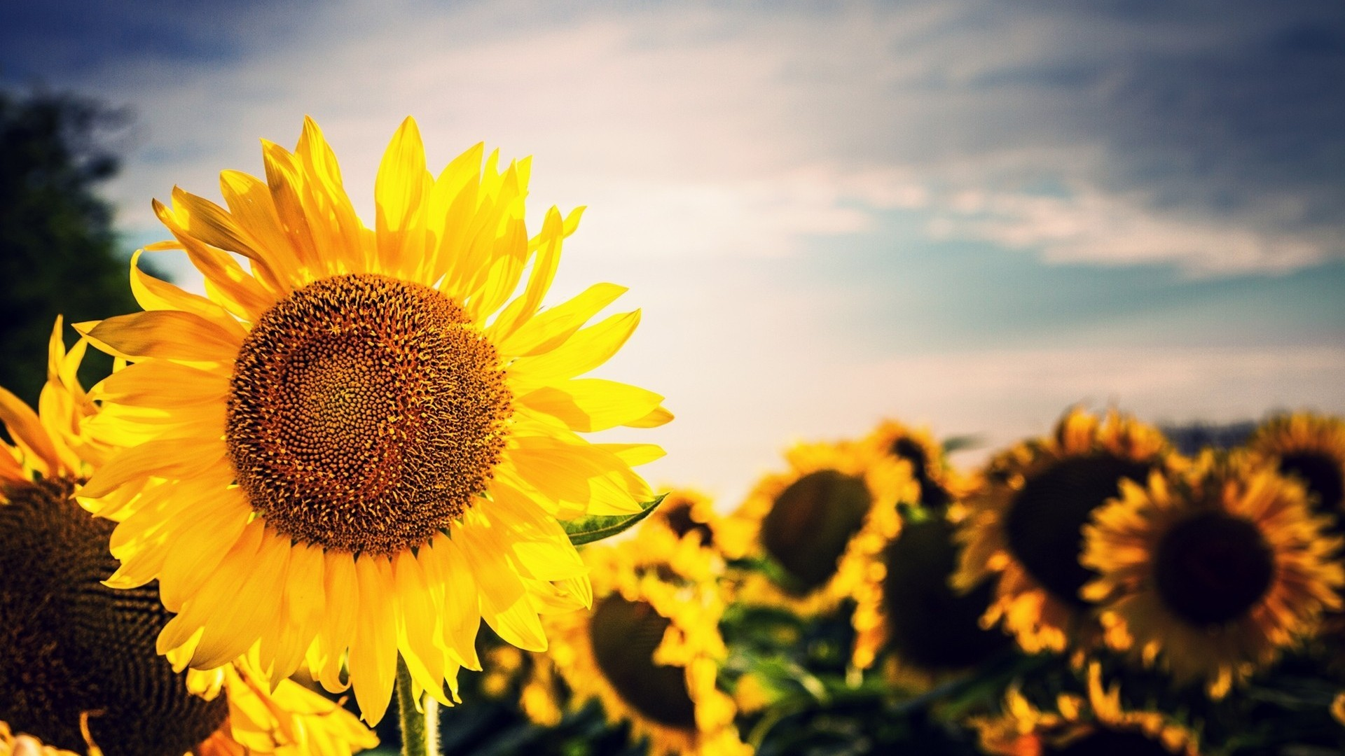 sunflower images wallpapers 41 wallpapers � hd wallpapers