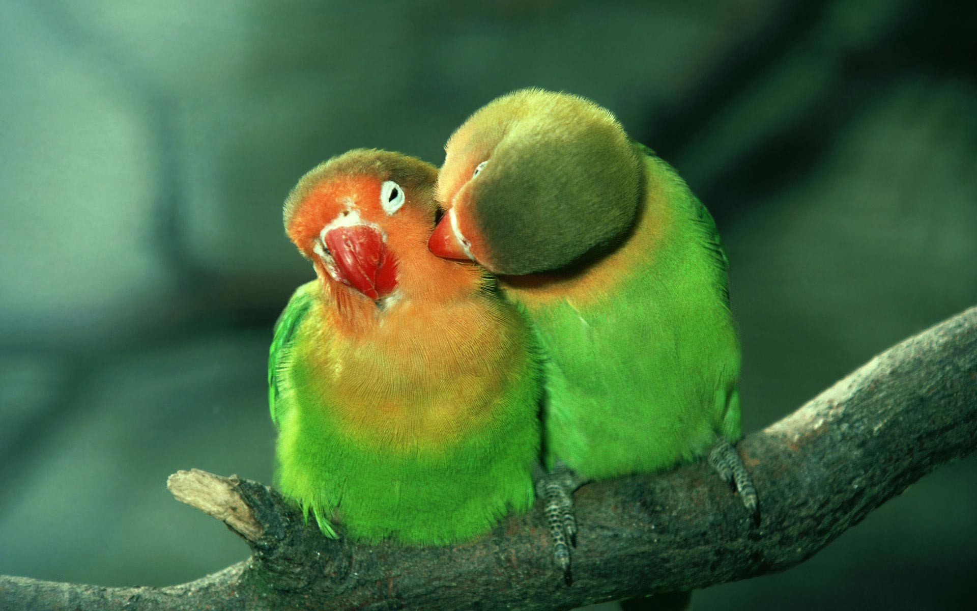 Love Birds Hd Wallpapers And Images Free Download: Parrot Wallpapers