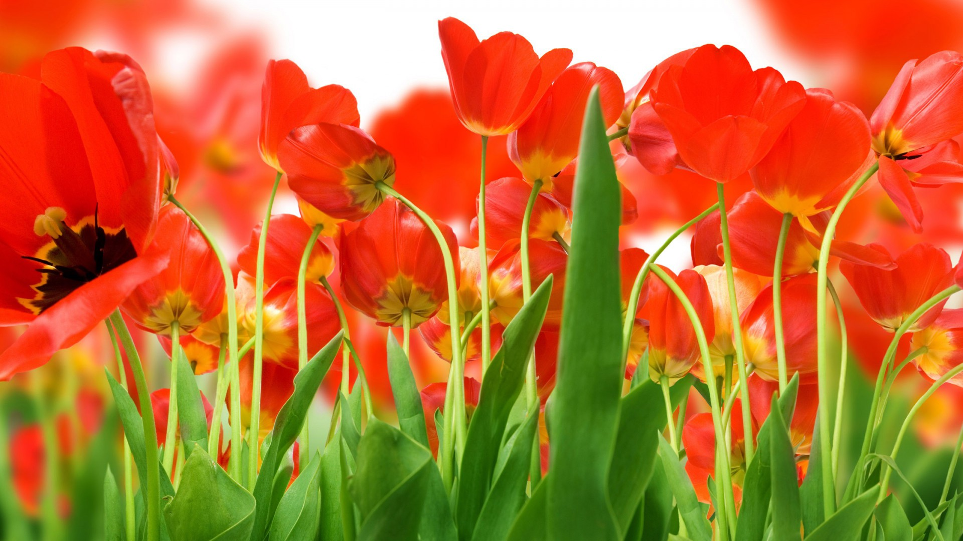 Tulips wallpapers best wallpapers beautiful tulips wallpaper voltagebd Image collections