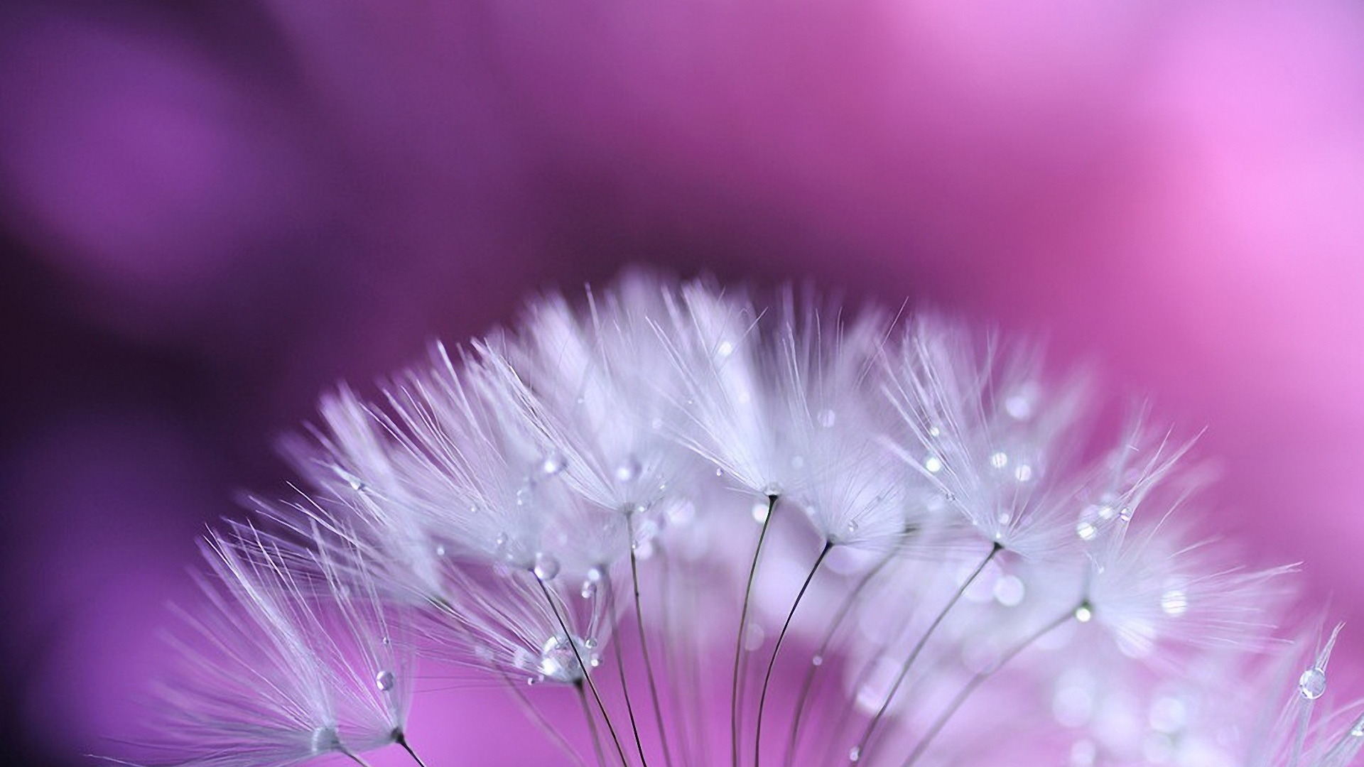 Dandelion wallpapers best wallpapers for High quality wallpapers