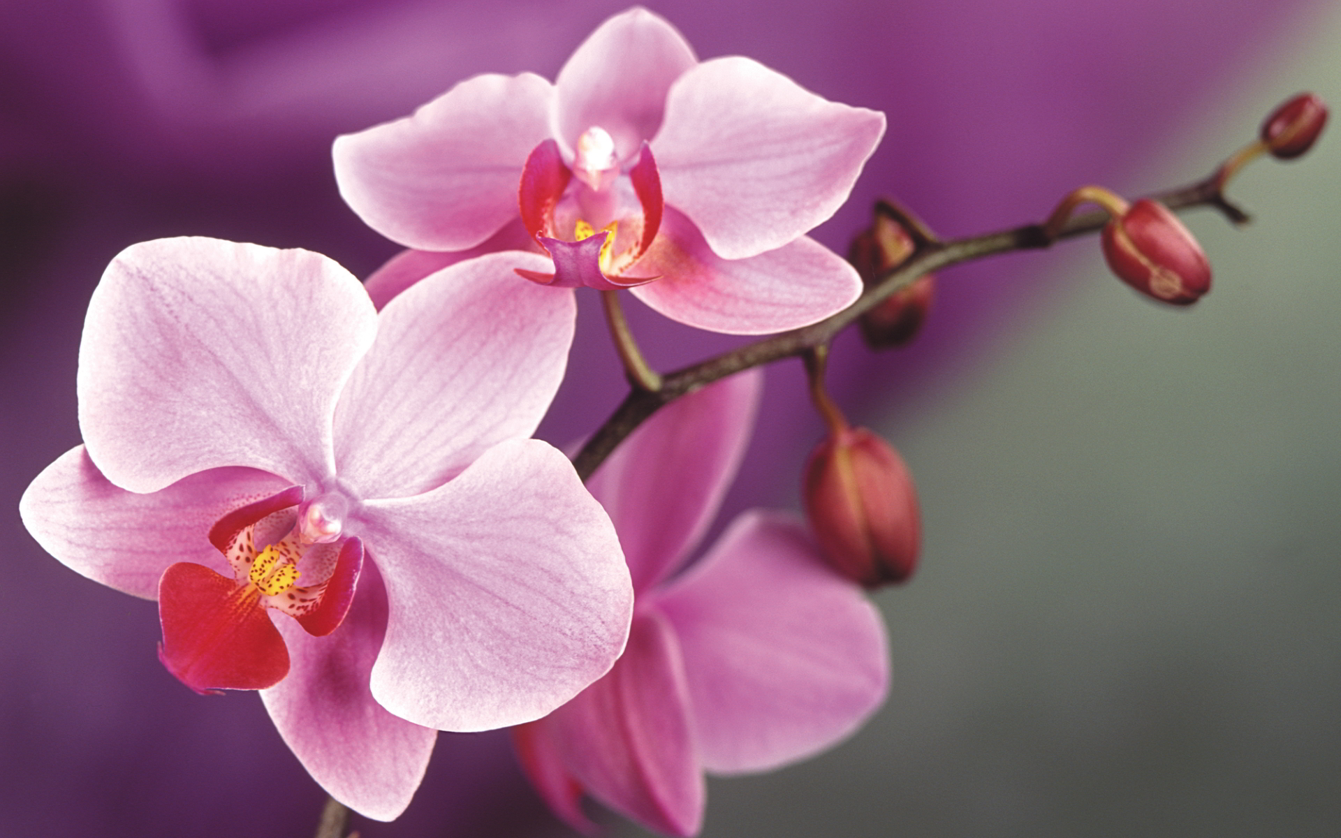 orchids wallpapers best - photo #2