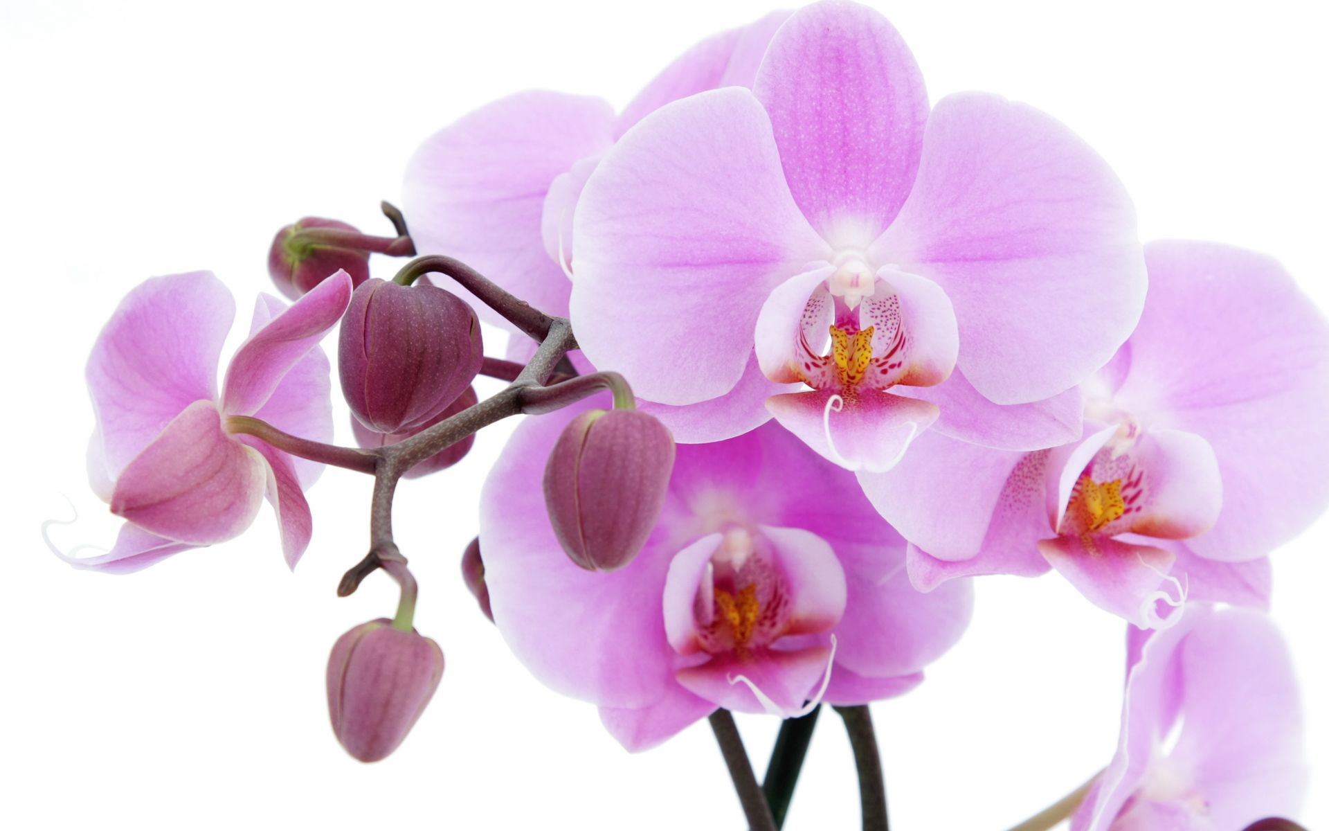 Orchids Wallpapers on orchid background wallpaper