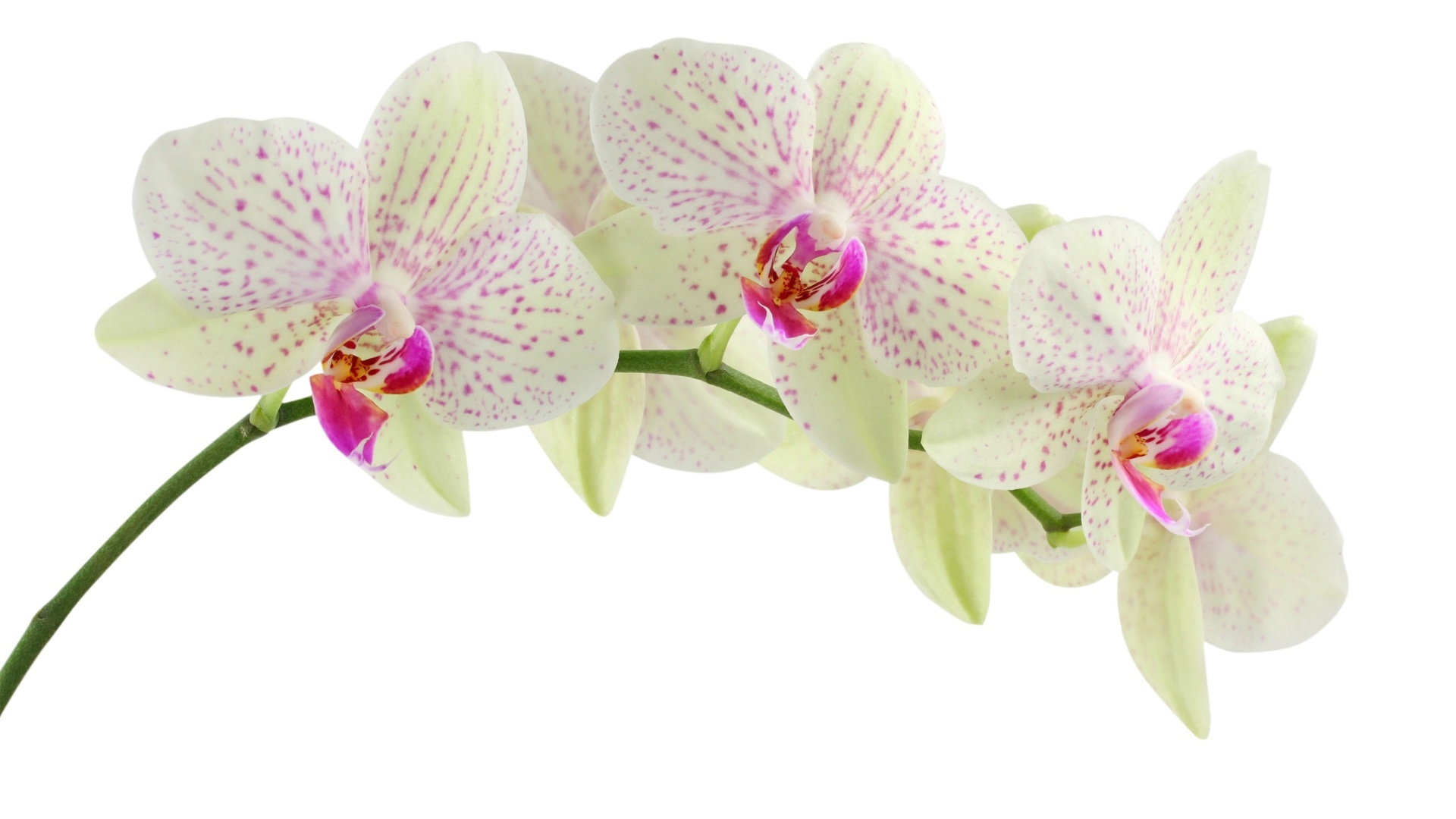 orchids wallpapers best - photo #13
