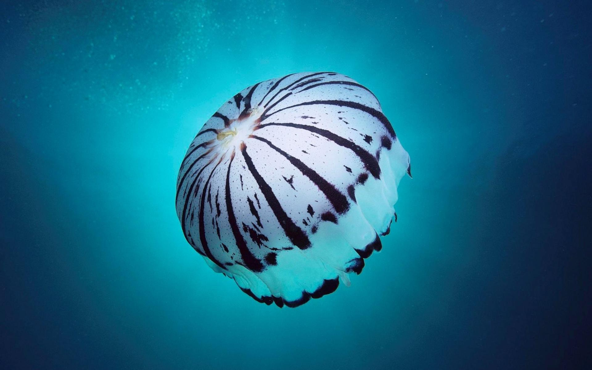 jellyfish wallpapers best wallpapers